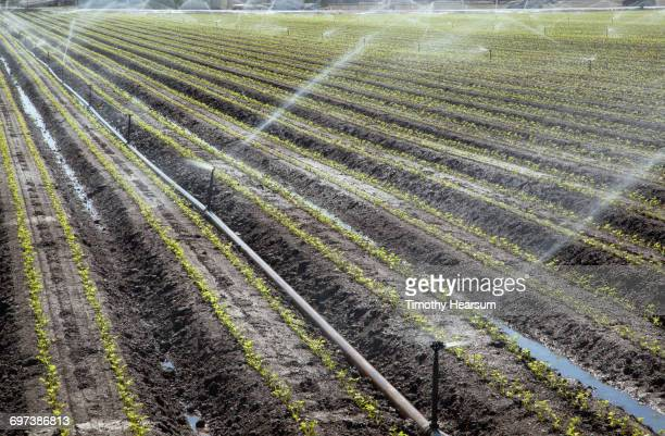 Irrigating rows of young cilantro plants