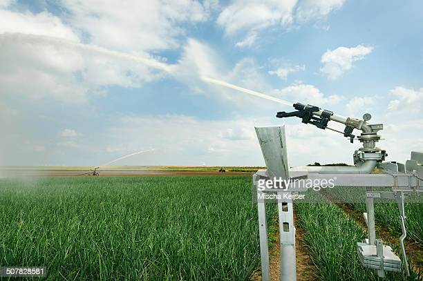 Irrigation sprays on field plant crop due to prolonged drought, Rilland, Zeeland, Netherlands