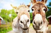 Closeup shot of two donkeys on a farm