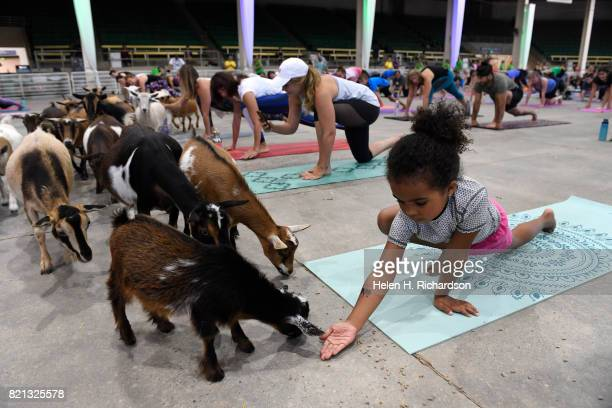 Isabel Swartwood tries to feed a baby goat as she participates in goat yoga at the Denver County Fair on July 23 2017 in Denver Colorado 236 yogis...