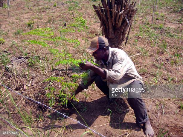 Isabelle LIGNER Paulin Dansou HIV positive holds a Moringa tree in a field belonging to the Apevivis association in Kpomasse 30 November 2007 The...