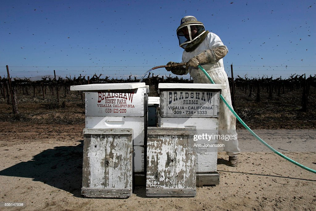 Isaias Corona who works for Bradshaw Honey Farm puts corn syrup into hives to feed the bees near Visalia in California Bradshaw has lost 40% of his...