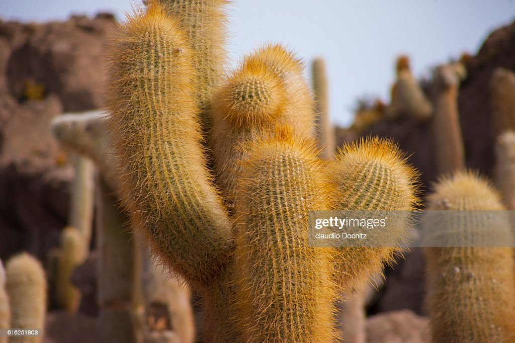 Island fish with millenarian cactus, Uyuni salt flats : Stock Photo