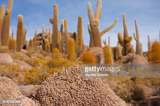 Island fish with millenarian cactus, Uyuni salt flats : Foto de stock
