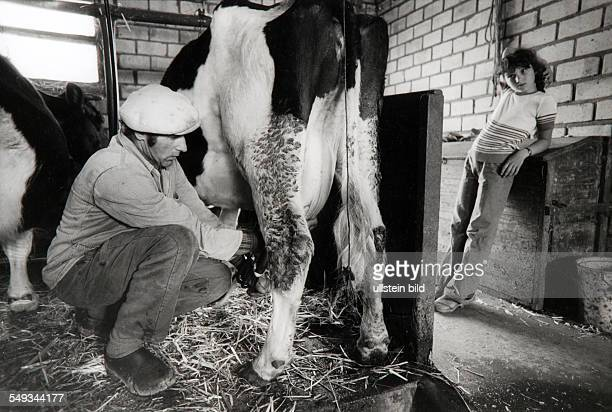 Island Groede in the North Sea farmer milking his cow with hands