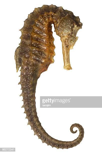 Iso Seahorse