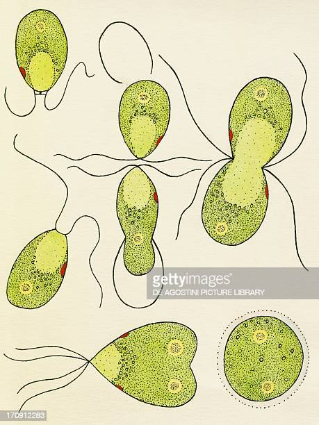 Isogamia sexual reproduction through similar but oppositesex gametes of green algae Drawing
