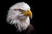 An Isolated American Bald Eagle looking down to its right for prey with a black background