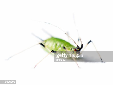 Isolated aphid 04