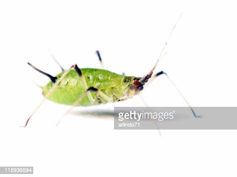 Isolated aphid 05