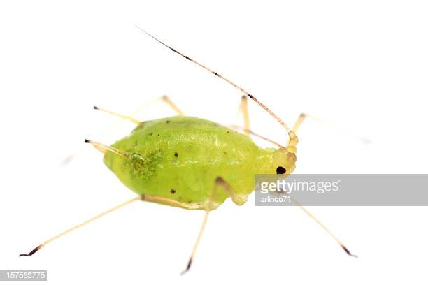 Isolated Aphid (XXXL)