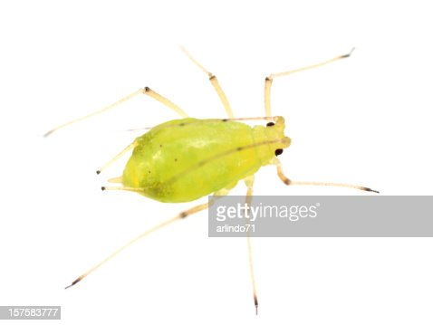 Isolated Aphid (XXL)