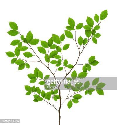 Aislado Beech hojas