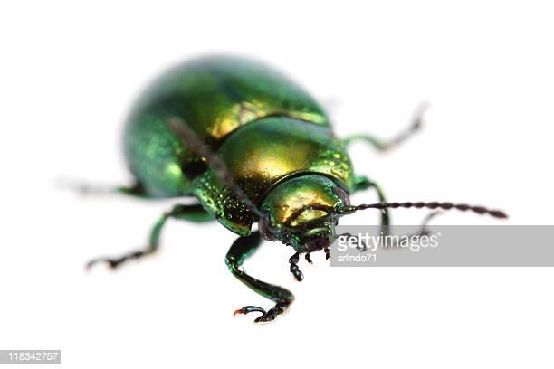Isolated beetle (XXXL)
