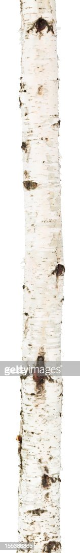 Isolated birch trunk