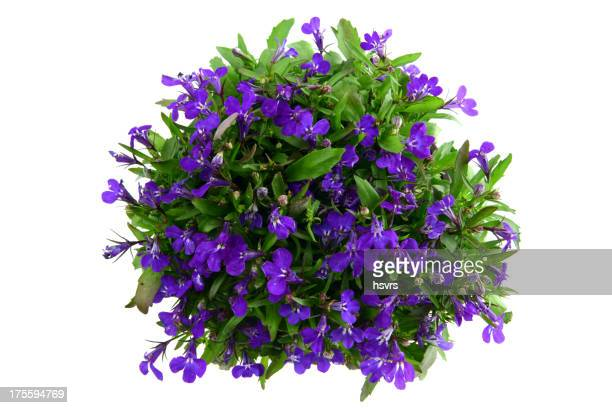 isolated blue Garden Lobelia (Lobelia erinus)