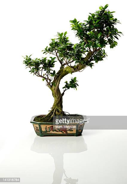 Isolated Bonsai Tree