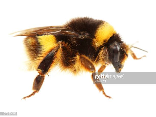 Isolated Bumblebee (XXL)