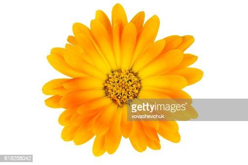 isolated calendula flower : Stock Photo