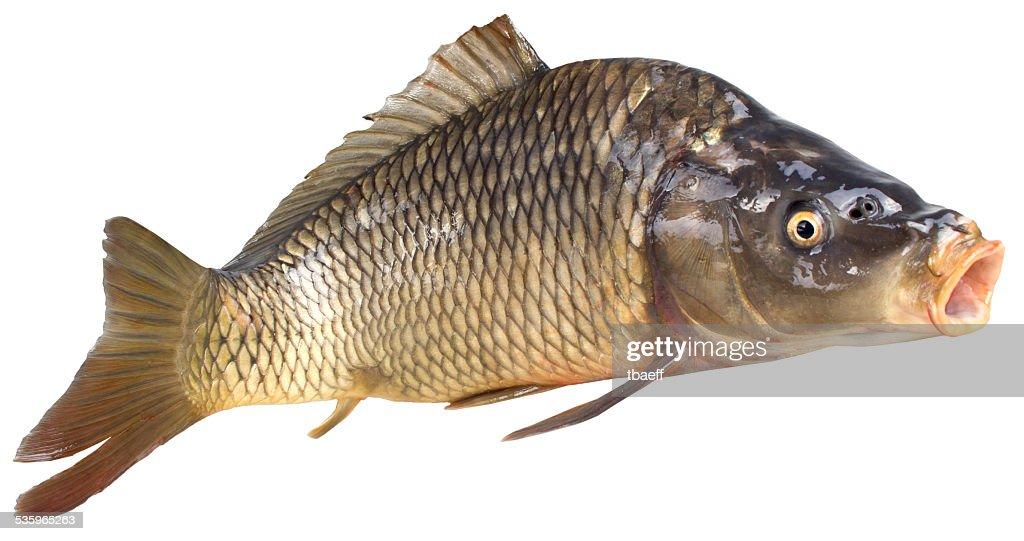 Isolated carp : Stock Photo
