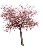 Isolierte Cherry Blossom Baum