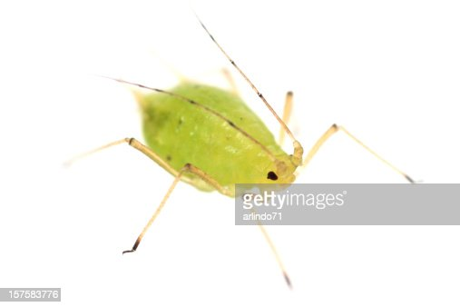 Isolated close up of a green aphid