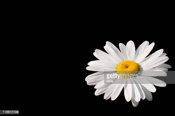 Isolated daisy
