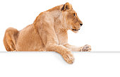 Isolated female lion on white background with paw hanging over blank sign for copy.
