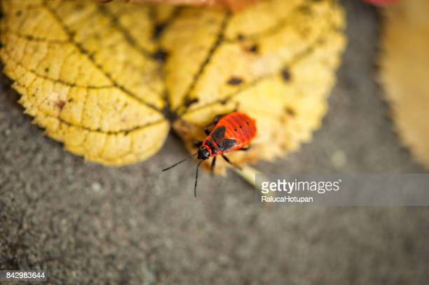 isolated firebug resting in the sun on yellow dried linden leaf