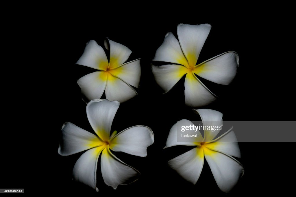 isolated fresh plumeria on black background : Stock Photo