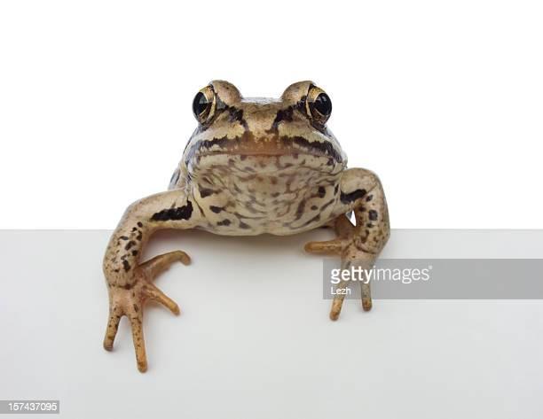 Isoliert, frog