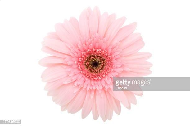 Isolated Gerbera Daisy (XL)