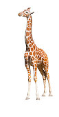 Giraffe (Giraffa camelopardalis) standing looking up, isolated on white background ,clipping path