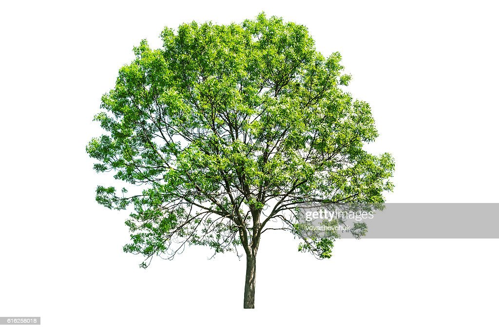 isolated green tree : Foto de stock
