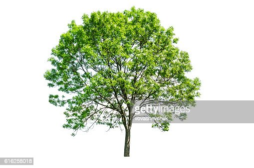 isolated green tree : Foto de stock