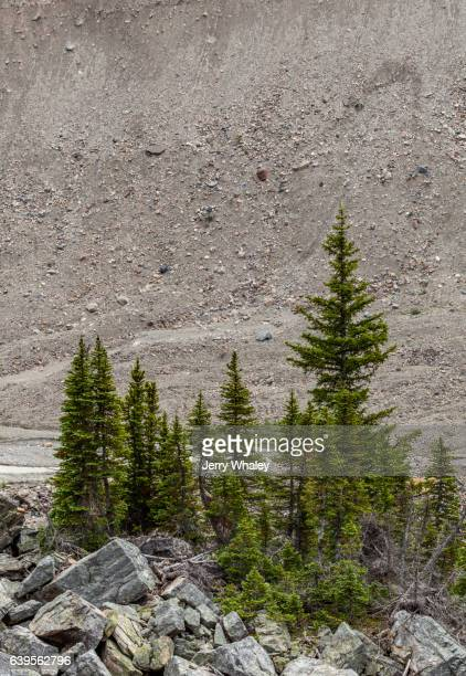 Isolated Grove of Trees re-Growing in Glacial Debris