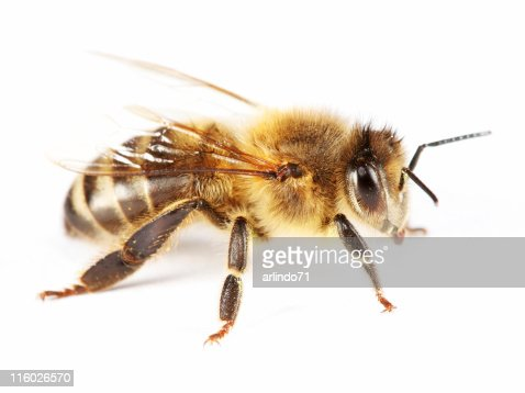 Isolated honeybee 01