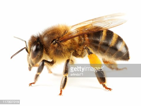 Isolated  honeybee