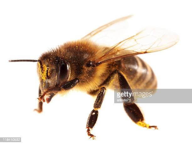 honeybee (XXL) isolé