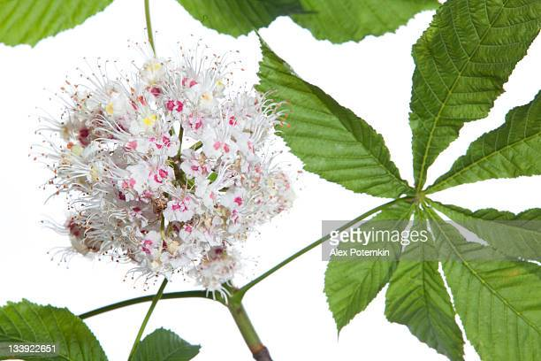 isolated horse chestnut-tree branch with leaves and flowers