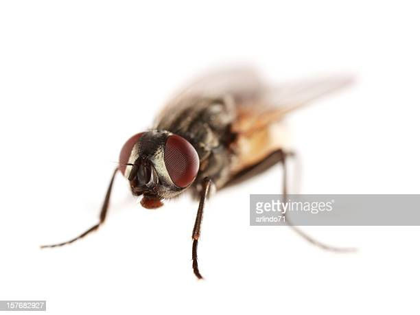 Isolated housefly (XXL)