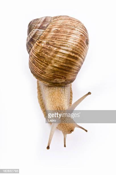 Isolated image of a garden snail on a white background