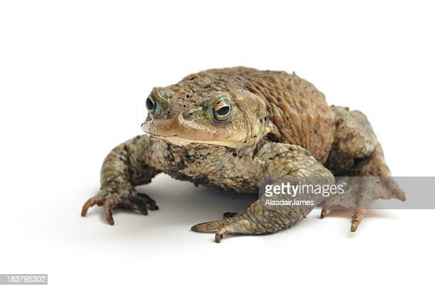 Isolated image of a toad on a white background