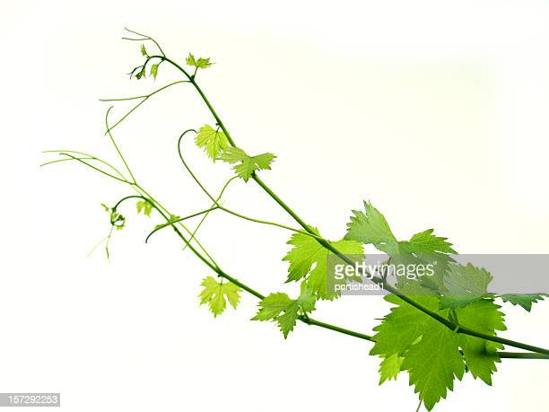 Isolated image of grapevine and leaves