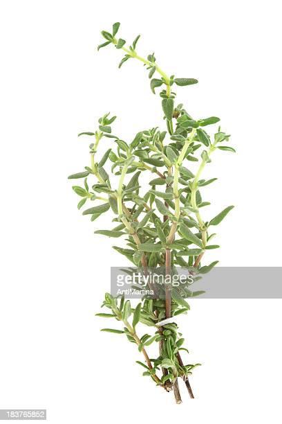Thym (thymus) isolé sur blanc