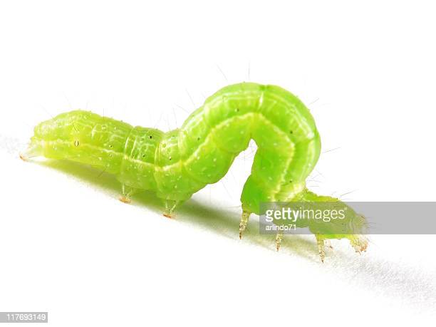 Isolated Inchworm