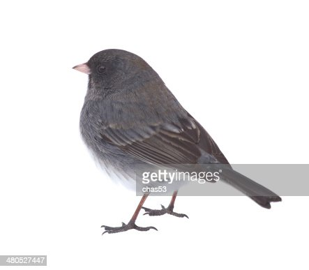 Isolated Junco : Stock Photo