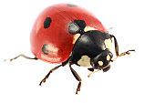 Isolated Ladybug (XXXL)