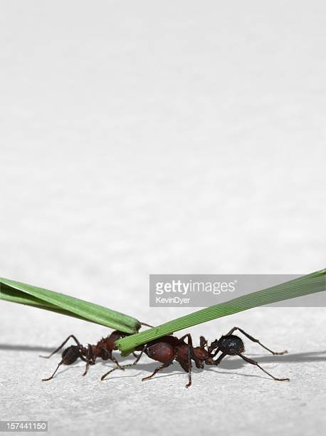 Isolated Leaf Cutter Ants