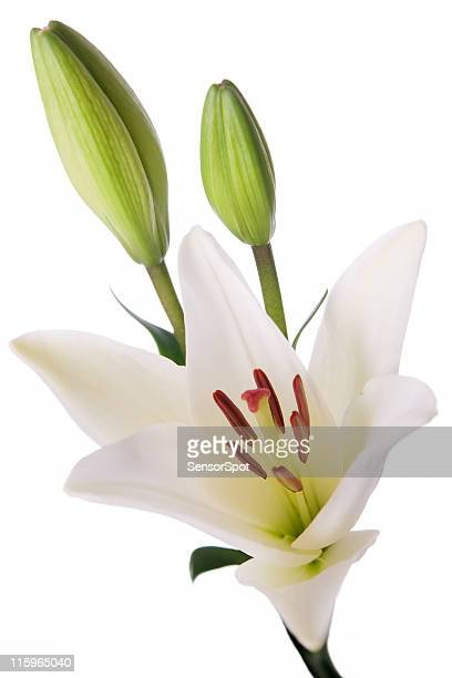 Isolierte lilly